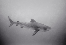 Tiger Shark in Murky Water (SC-1514)