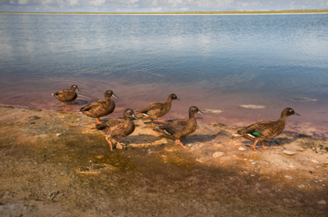 Laysan Ducks by Inland Lake, Laysan (NWA-06)