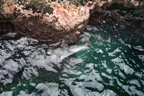 Monk Seal in Inlet with Opi'i, Nihoa (NWA-40)