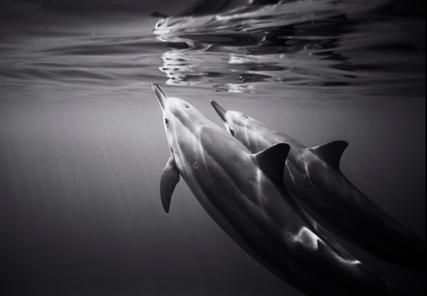 Reflecting Spinner Dolphins (SC-187)