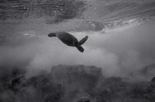 Green Sea Turtle in Cloudy Seascape #3 (SC-2099)