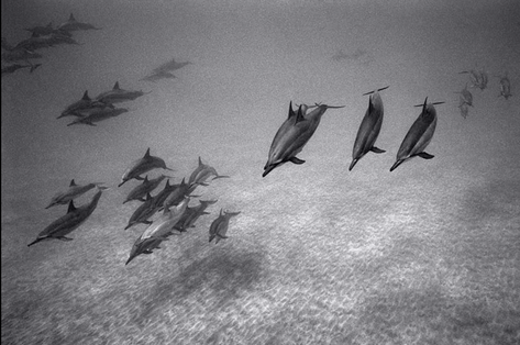 Approaching Spinner Dolphins over Sand (SC-1716)