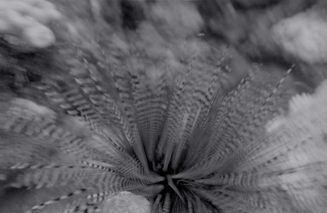 Urchin Movement (O-735)