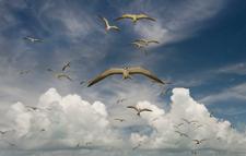 Approaching Sooty Terns, Kure (NWA-20)