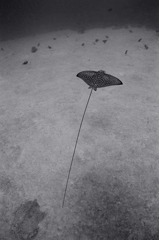 Eagle Ray with Long Tail over Sandy Bottom (SC-1671)