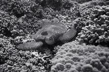 Green Sea Turtle (SC-150)