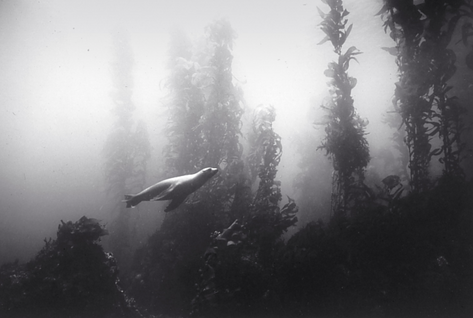 Sea Lion and Kelp Forest (SC-191)