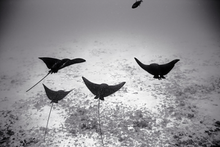 Four Eagle Rays over Sand (SC-1016)