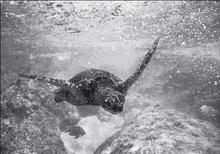 Green Sea Turtle in Turbulance (SR-84)