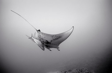 Manta Ray with Amber Jack (SC-1172)