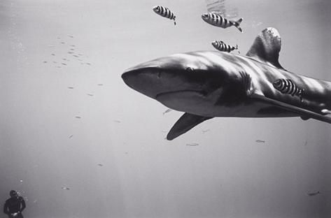 Freedriver with Oceanic Whitetip Shark (SC-263)
