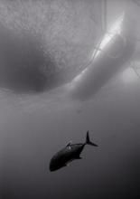 Giant Travally Under Aquaculture Pen (T-83)