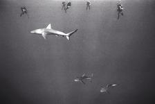 Decompressing Divers and Galapagos Sharks, Laysan (NWU-38)