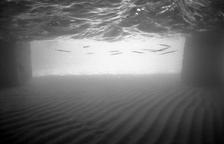 Needlefish under Pier, Midway (NWU-97)