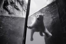 Polar Bear, Central Park Zoo (P-40)