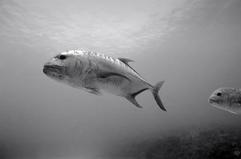 Giant Ulua, Pearl and Hermes Reef (NWU-66)