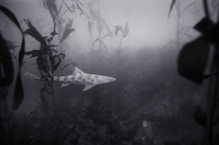 Leopard Shark in Kelp Forest (SC-161)