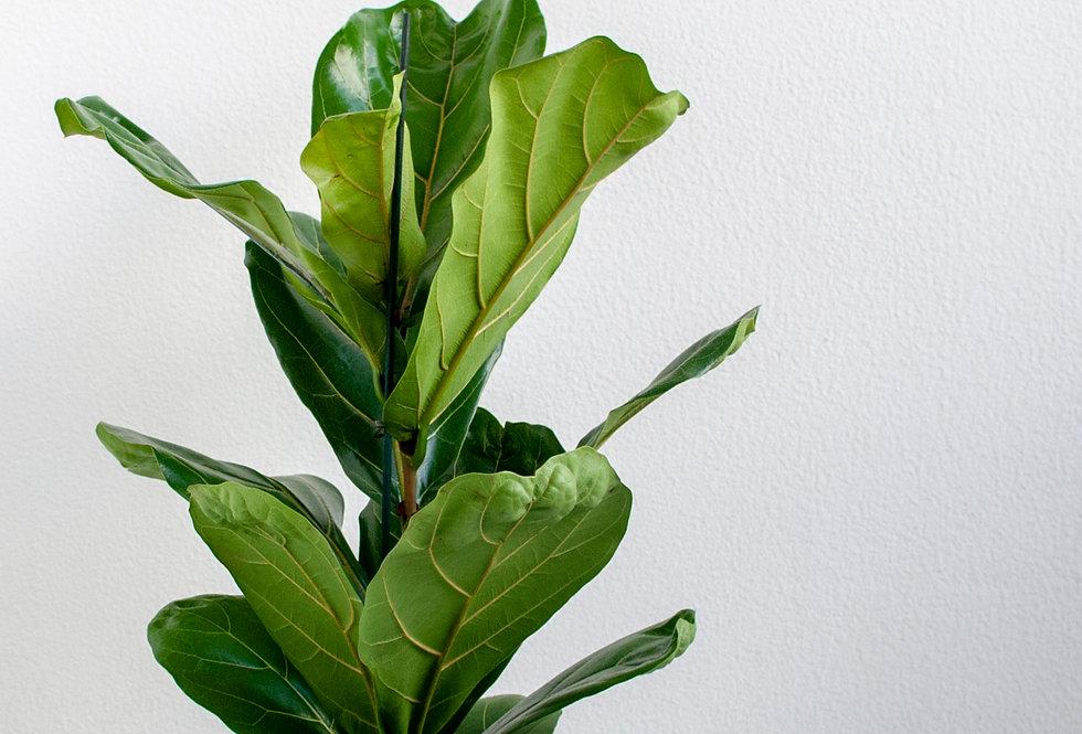 Ficus lyrata L