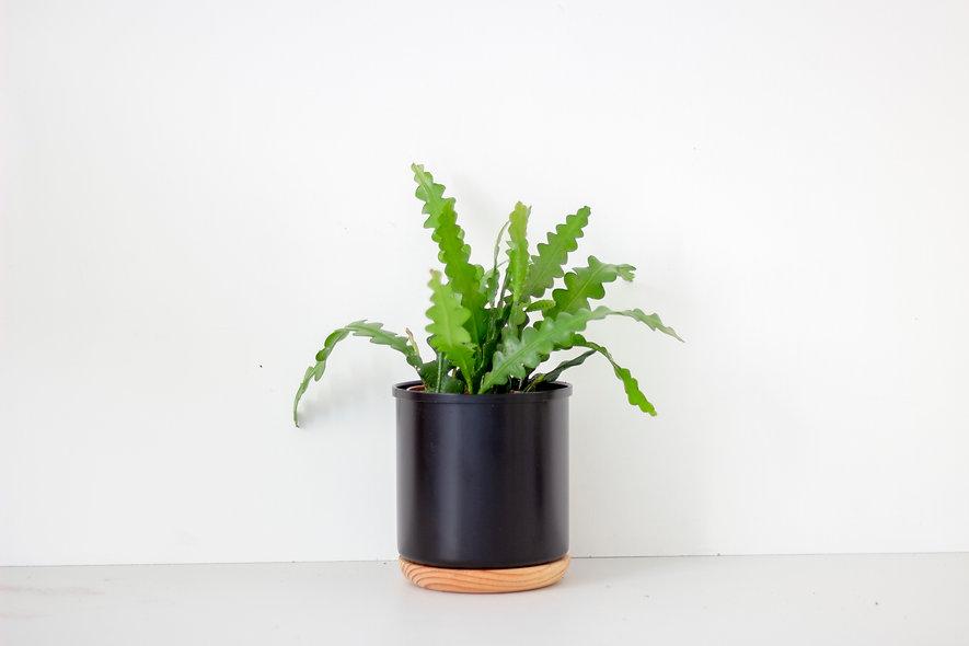 Fishbone cactus S