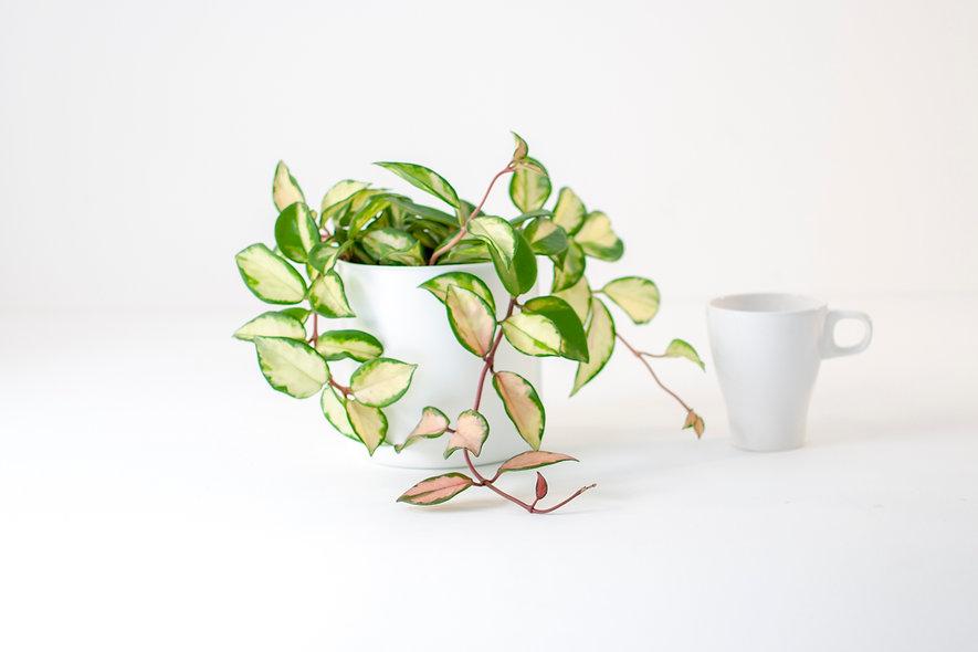 Hoya carnosa variegata S