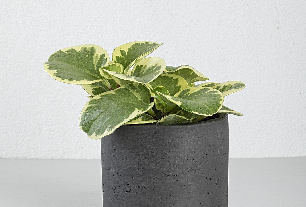 Peperomia variegata
