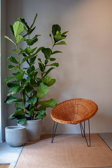 Ficus lyrata 3 pés