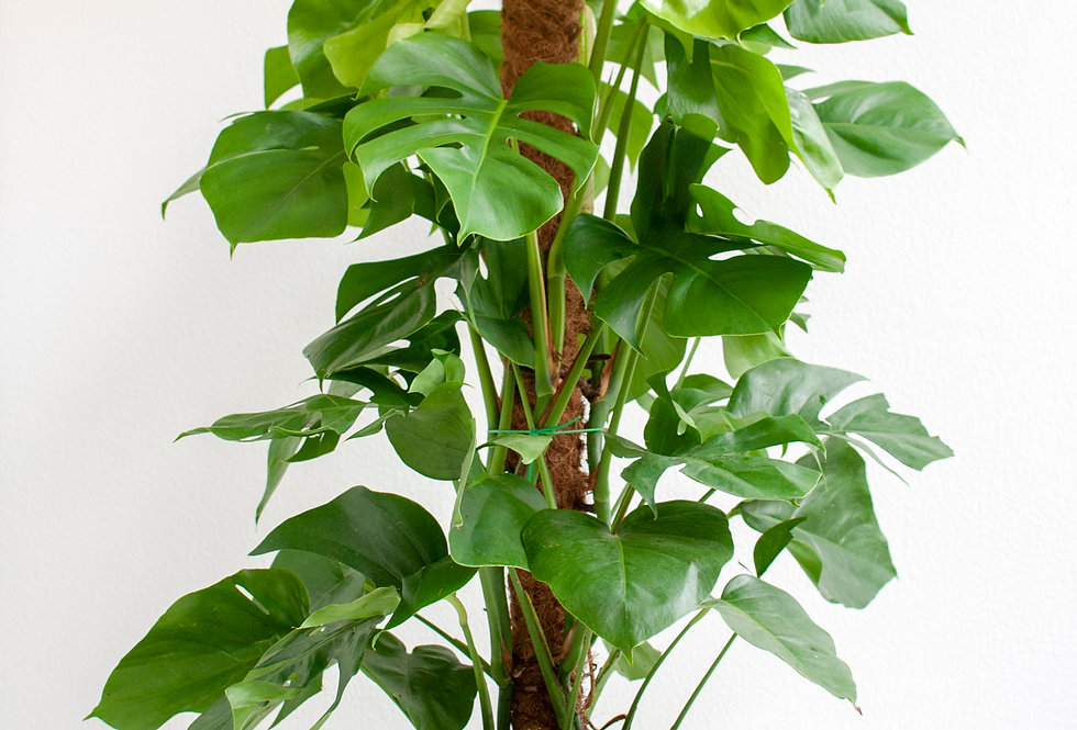 Monstera deliciosa (no tutor)