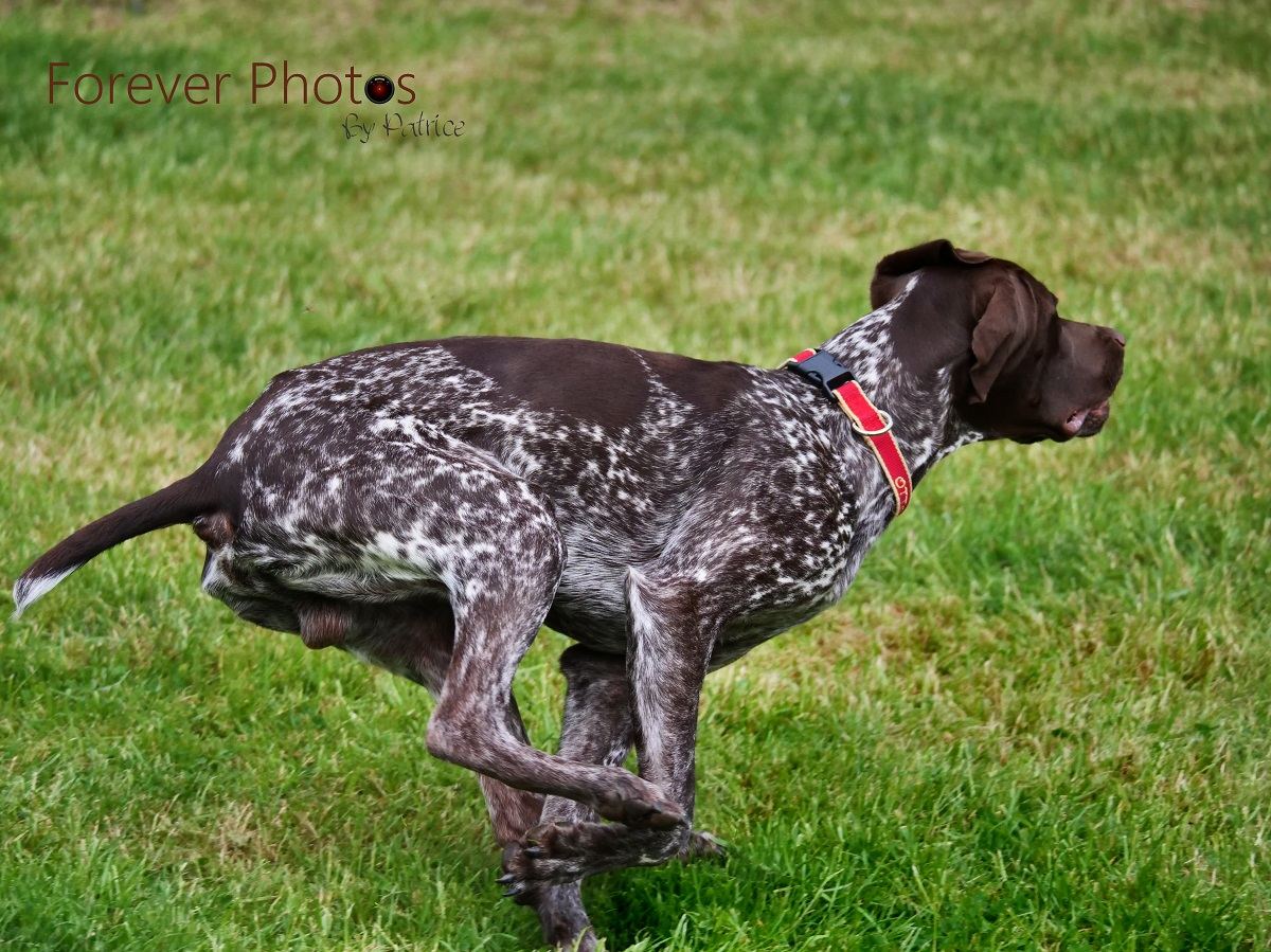Otto - German Pointer