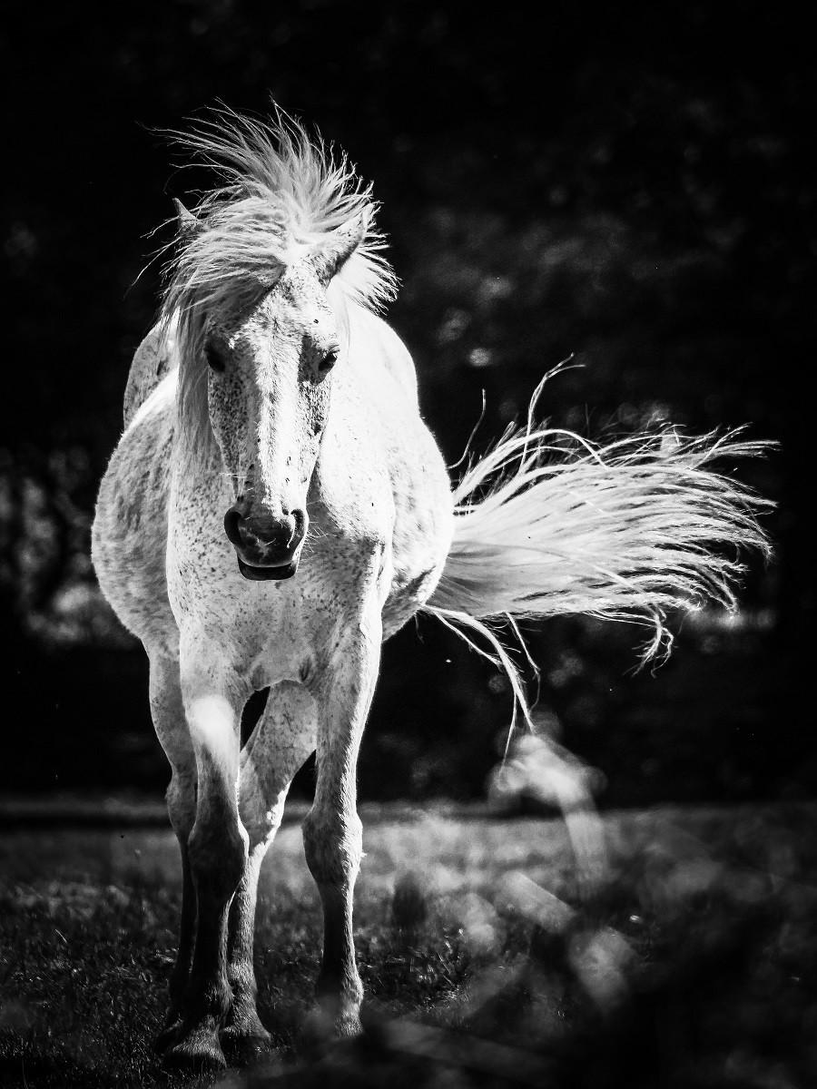 Arab Varient - New Forest Pony