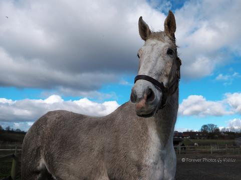 Bailey - Equine Photography