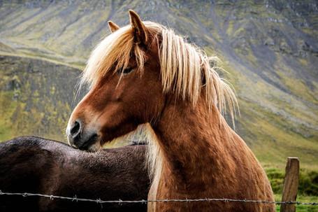 Highland Pony, Scotland
