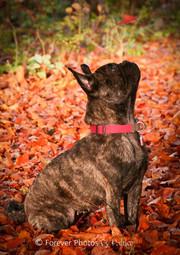 Ruby - French Bull dog x Pug