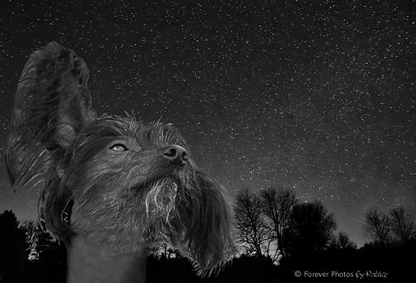 Chinese Crested Dog / Starry Night