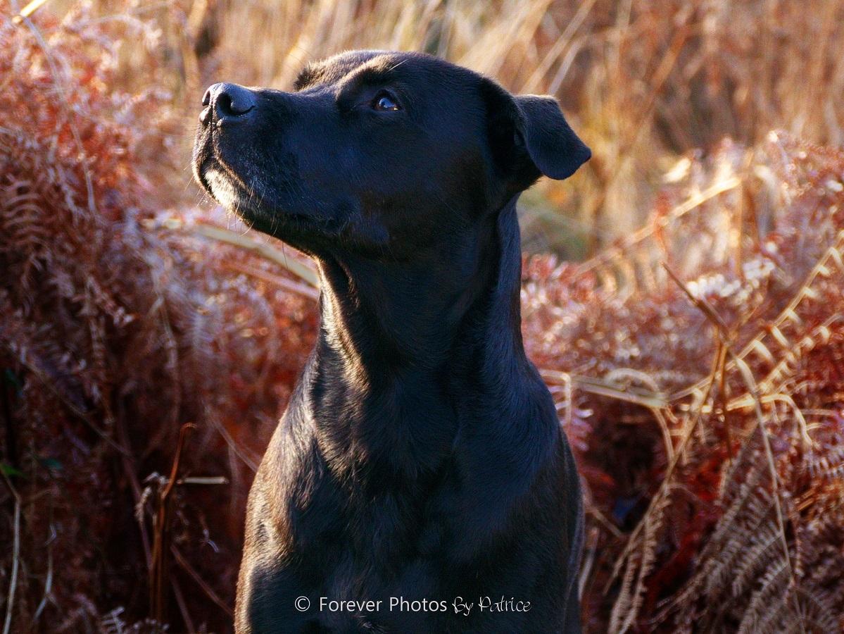 Tyson - Labrador