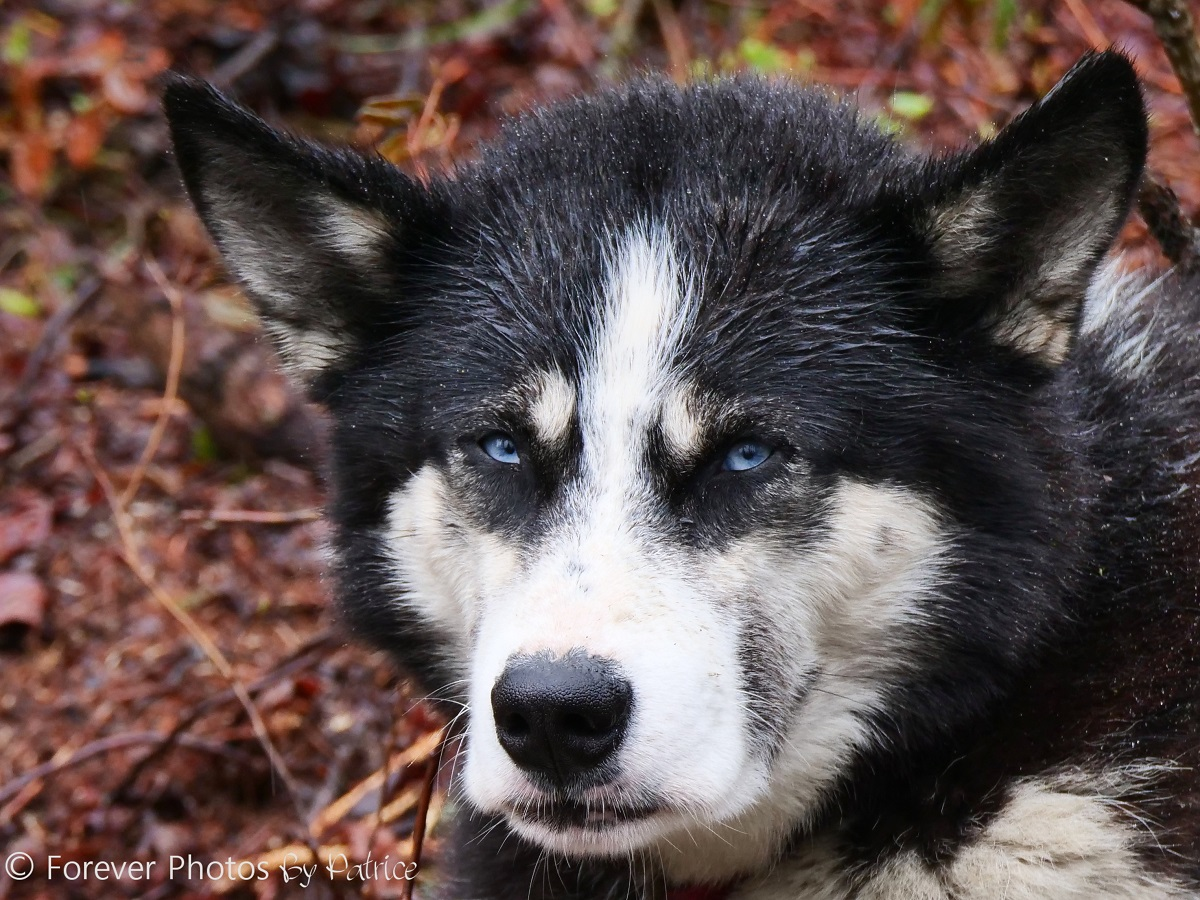 Blu - Siberian Husky, Alsaka