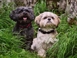 Jake & Bailey - Shih Tzu