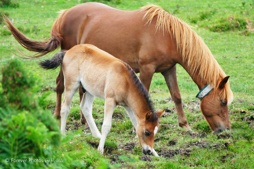 New Forest Pony with Foal