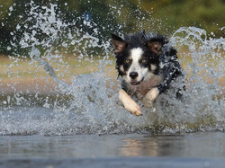 Border Collie Action Photography