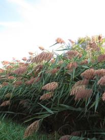Phragmites - Common Reed (Phragmites australis)