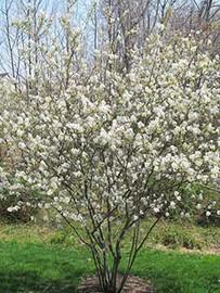 Allegheny Serviceberry (Amelanchier laev)