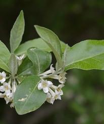 Autumn Olive (Elaeagnus umbellata)