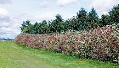 windbreak-red-stemmed-dogwood.jpg