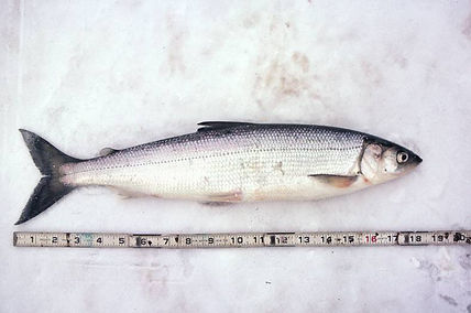 lake-herring.jpg