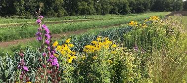 Insectary strip_farm habitat_yellow cone