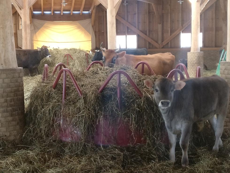 happy cows.jpg