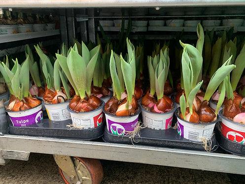 Spring Bulbs 5 for €10
