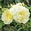 "Thumbnail: ""David Austin"" Roses (Various)"