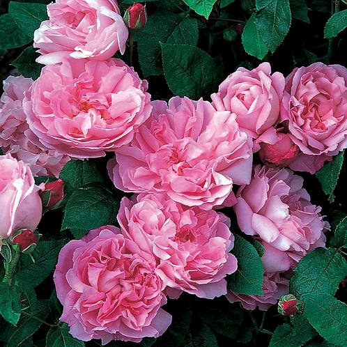 """David Austin"" Roses (Various)"