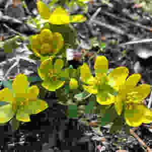 Winter aconite (Eranthus) will naturalize
