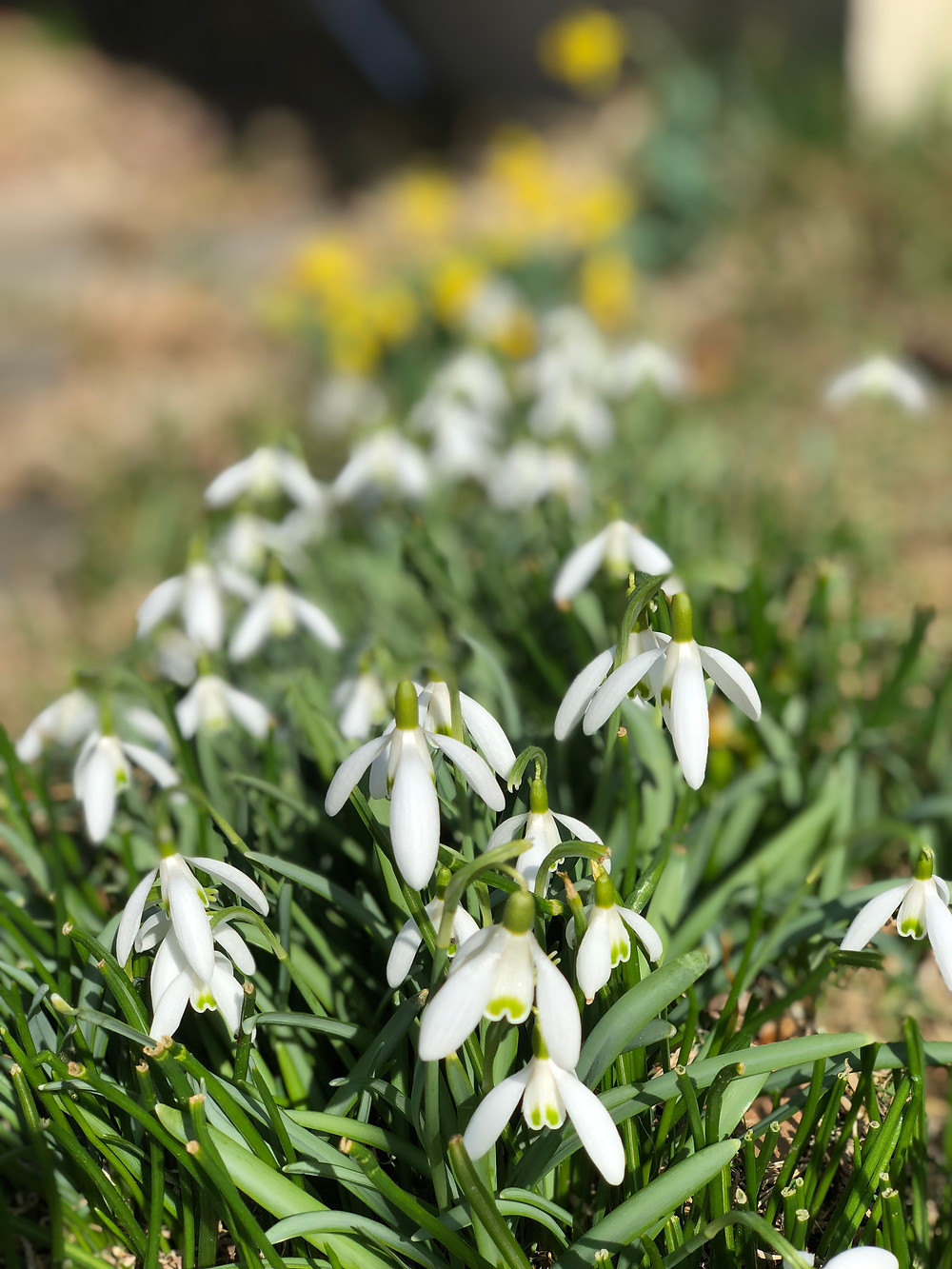 Snow drops can be easily increased and go dormant